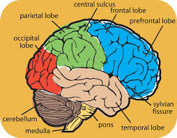 The different lobes of the brain